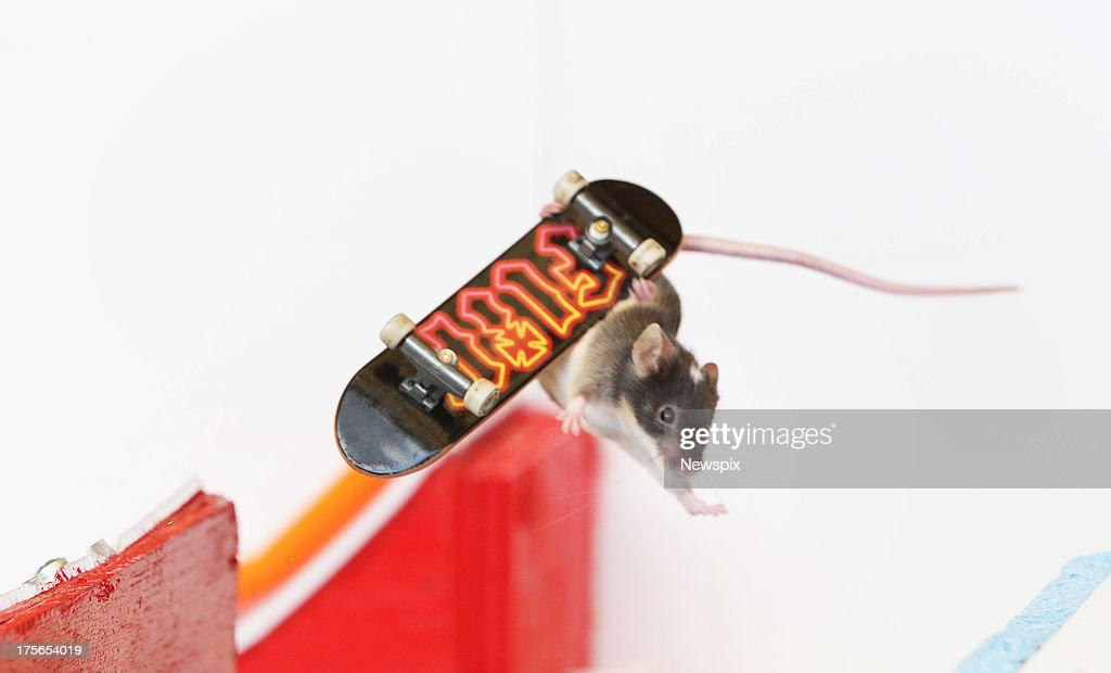Pet mice ride on mouse-sized toy skateboards in a mouse-sized skate park built by Shane Willmott in his backyard on August 2, 2013 on the Gold Coast, Australia.