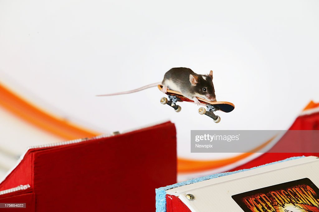 Pet mice ride on mouse-sized toy skateboards in a mouse-sized skate park built by Shane Willmott in his backyard on July 31, 2013 on the Gold Coast, Australia.