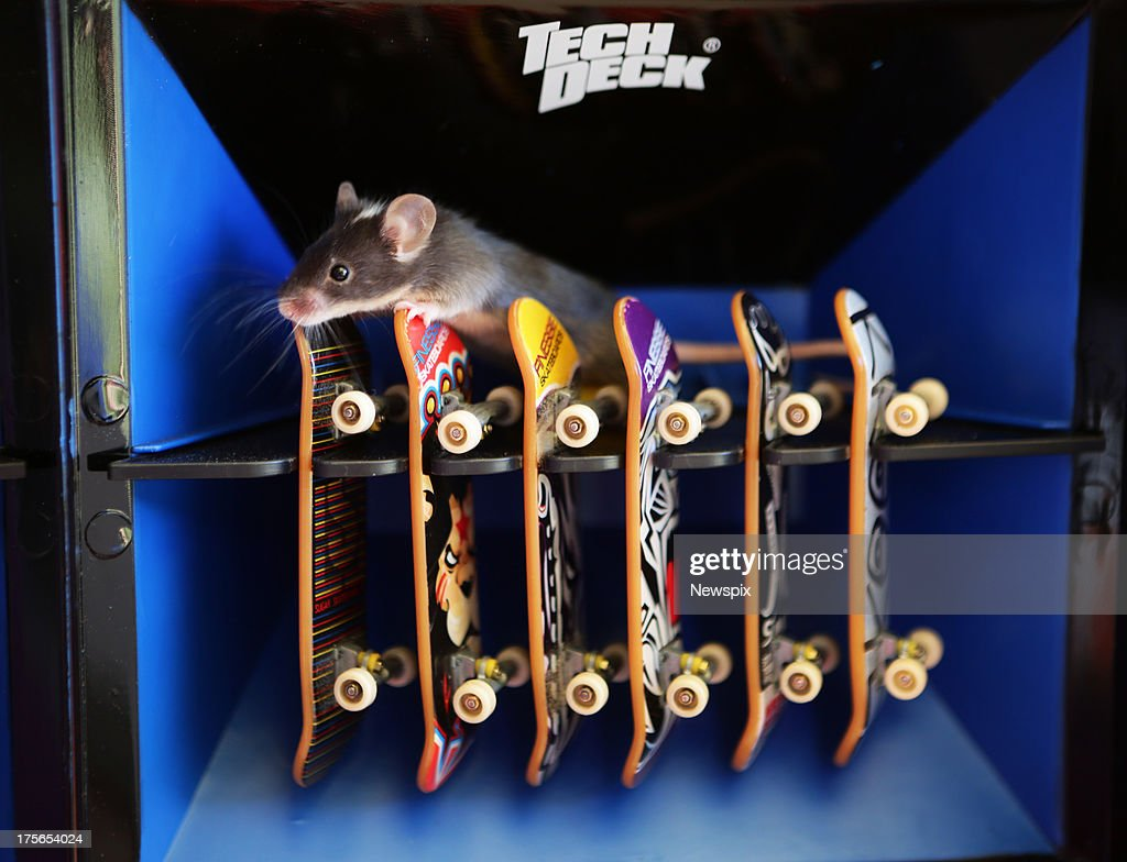 skateboarding mice on the gold coast photos and images getty images