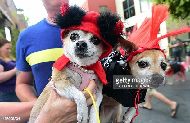 Pet owners Rochelle and Brian hold 'Lil Devil' Bitsy and 'Punk Rocker' Kibbles as pet owners take their dogs dressed in Halloween costumes for a walk...