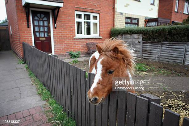 A pet pony is kept in a front garden in fear of being seized by bailiffs after a council crackdown in Tipton on October 10 2011 in Dudley England...