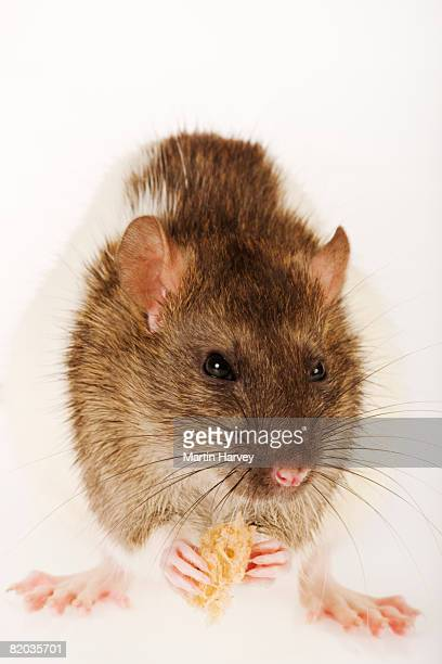 Pet rat eating bread.