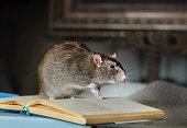 Pet rat in the interior close-up