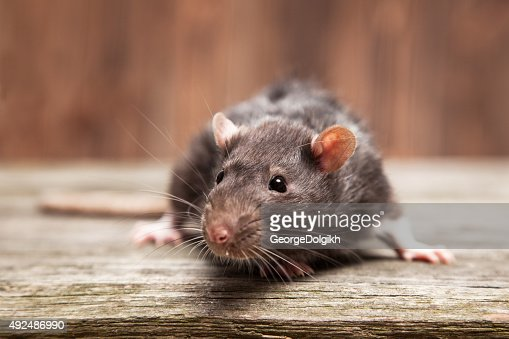 Pet rat : Stock Photo