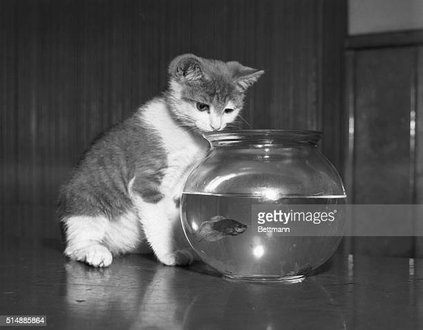 Boys' Club of New York held its annual pet show this morning at the Tompkins Sq Clubhouse Junior a 3 month old kitten watches the fish swim around...