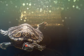 Pet turtle red-eared slider or Trachemys scripta elegans in aquarium