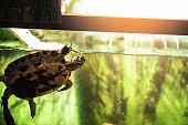 Pet turtle red-eared slider or Trachemys scripta elegans in aquarium