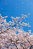 Petals falling from cherry blossom tree