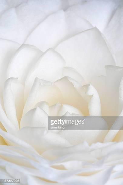 Petasls de branco japonês Camélia