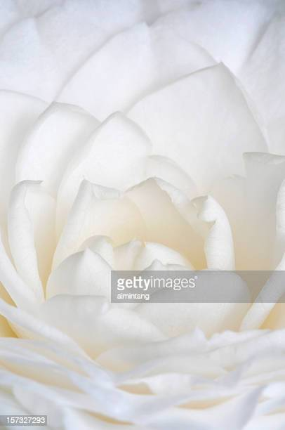 Petasls of White Japanese Camellia