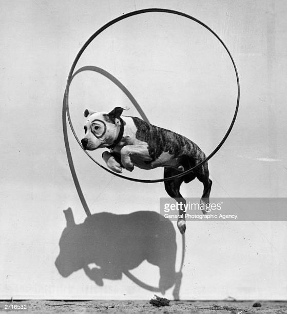 Pete a Staffordshire Bull Terrier jumping through a hoop