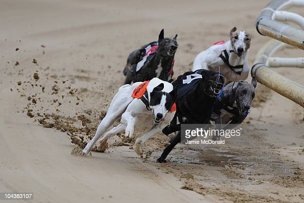 Peteles Hawk Ivys Star and Millies Mine take the first bend during the first race run at Romford Greyhound Stadium on September 23 2010 in Romford...