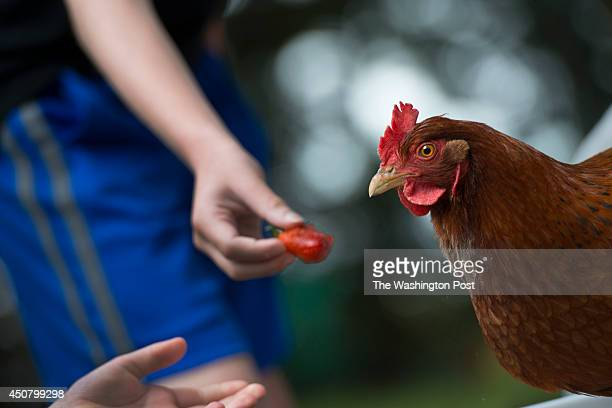 Peter Dipaolo age 9 and his sister Emily age 7 try to feed a strawberry to their new rental chicken at home in Severn MD on May 30 2014 The kids...