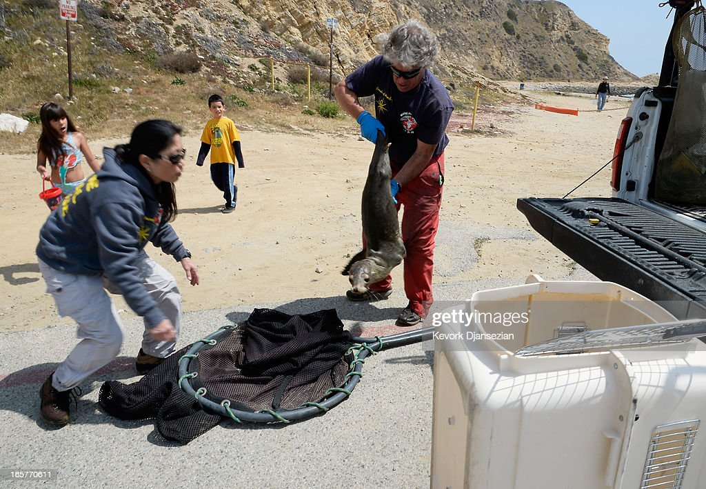Peter Wallerstein (R) of Marine Animal Rescue and volunteer Gayle Uyehara picks up a malnourished sea lion pup at White Point Park on April 5, 2013 in the San Pedro area of Los Angeles, California. The sea lion pup, which weighed only 25 pounds, was transported to Marine Mammal Care Center at Fort MacArthur for rehabilitation. All along the California coast, sea lions have been getting stranded in great numbers since January for reasons unknown. The National Oceanic and Atmospheric Adminstration estimates that in the first three months of 2013, more than 900 malnourished sea lions have been rescued in the region compared to 100 during the same time period one year ago. Officials have declared an 'unusual mortality event' for the California sea lion, a designation that prompts immediate federal response.