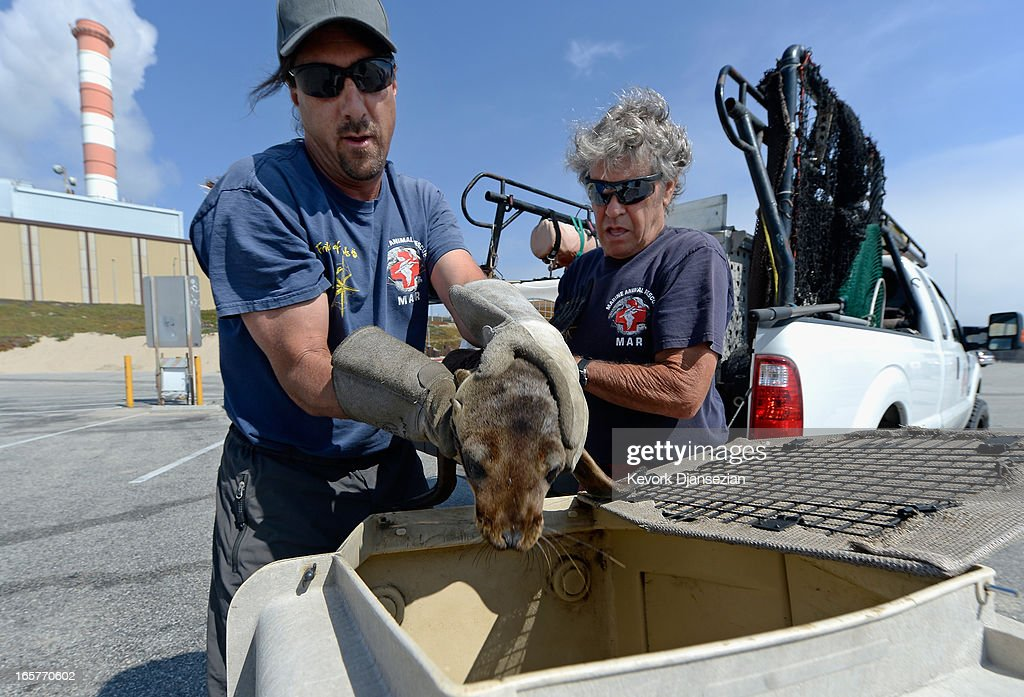 Peter Wallerstein (R) of Marine Animal Rescue Mike Remski place a malnourished sea lion pup in a cage after rescuing it from Dockweiler State Beach on April 5, 2013 in Los Angeles, California. The sea lion pup, which weighed only 15 pounds, was transported to Marine Mammal Care Center at Fort MacArthur for rehabilitation. All along the California coast, sea lions have been getting stranded in great numbers since January for reasons unknown. The National Oceanic and Atmospheric Adminstration estimates that in the first three months of 2013, more than 900 malnourished sea lions have been rescued in the region compared to 100 during the same time period one year ago. Officials have declared an 'unusual mortality event' for the California sea lion, a designation that prompts immediate federal response.