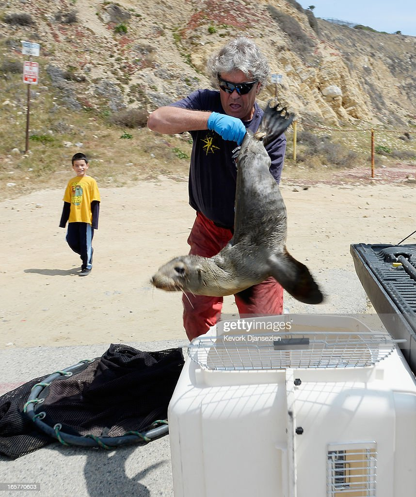 Peter Wallerstein of Marine Animal Rescue transports a malnourished sea lion pup to a cage at White Point Park on April 5, 2013 in the San Pedro area of Los Angeles, California. The sea lion pup, which weighed only 25 pounds, was transported to Marine Mammal Care Center at Fort MacArthur for rehabilitation. All along the California coast, sea lions have been getting stranded in great numbers since January for reasons unknown. The National Oceanic and Atmospheric Adminstration estimates that in the first three months of 2013, more than 900 malnourished sea lions have been rescued in the region compared to 100 during the same time period one year ago. Officials have declared an 'unusual mortality event' for the California sea lion, a designation that prompts immediate federal response.