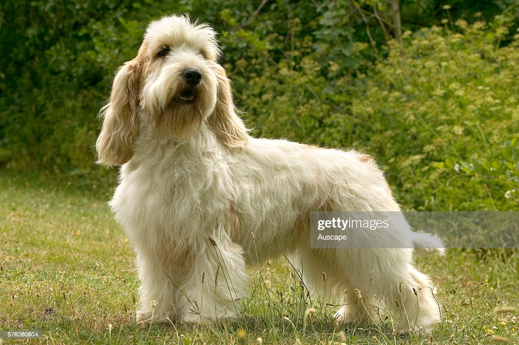 Petit basset griffon Vendeen Canis familiaris descended from the Grand griffon Vendeen which originated in the district of Vendee in France Bred in...
