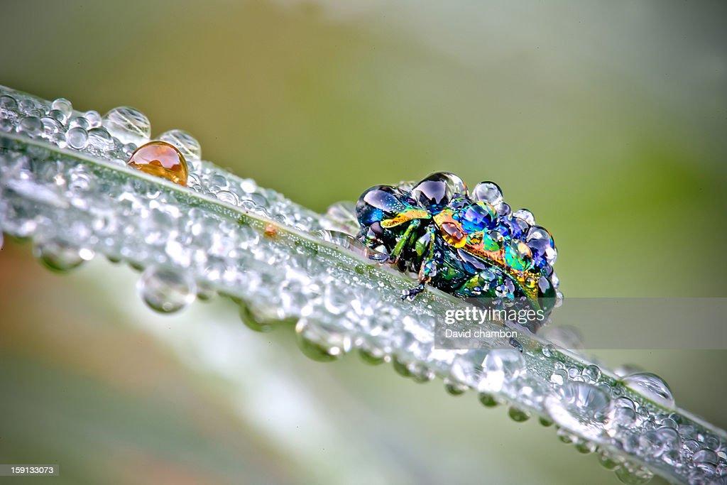 CONTENT] Petit scarabée chargé de rosée !