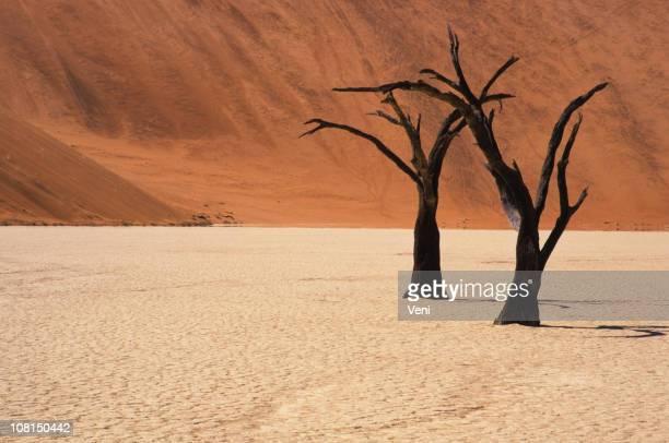 Petrified acacia Bäumen, Namib Desert, Namibia