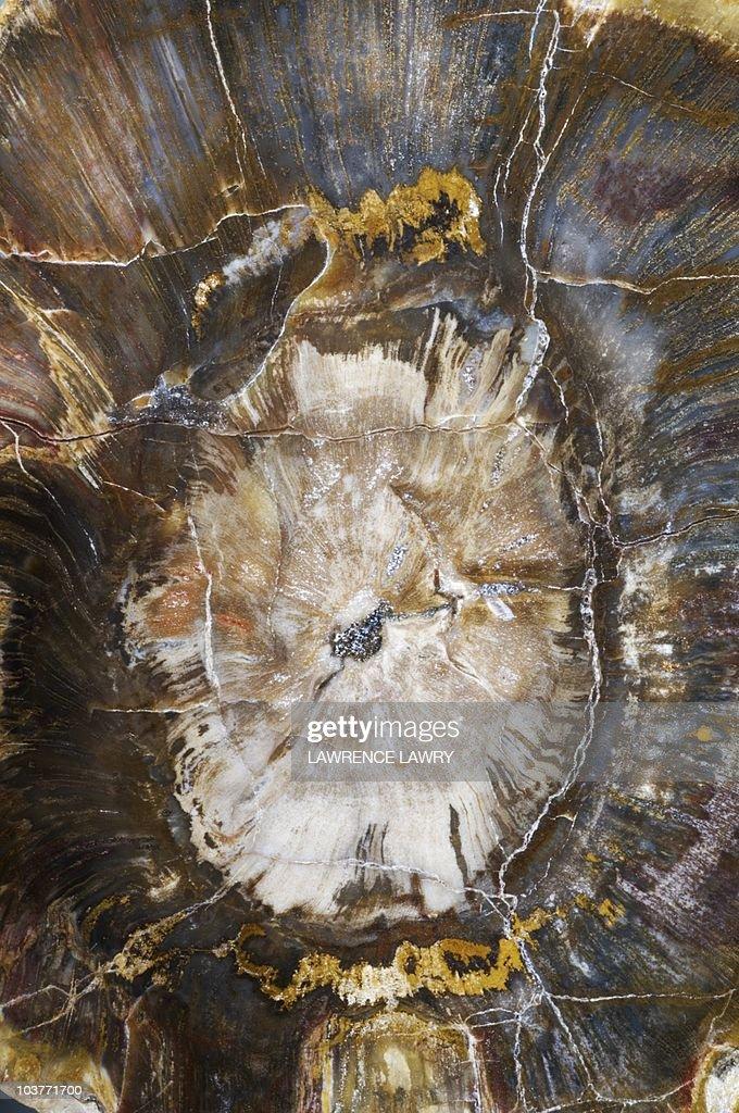 Petrified wood : Stock Photo