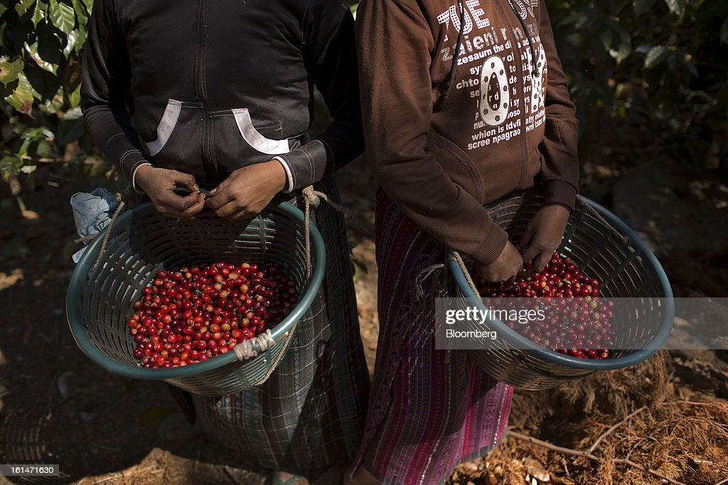 Petrona Lopez Chiquibal, right, and Magdelena Ajtujal, left, pick coffee beans in an area affected by the roya coffee fungus on the Finca San Isidro Chacaya coffee plantation in Santiago Atitlan, Guatemala, on Friday, Feb. 8, 2013. The Guatemalan National Coffee Association said that rust disease, known as roya in Spanish, will destroy 15 percent of the 2012-2013 harvest and as much as 40 percent of next season's harvest. Photographer: Victor J. Blue/Bloomberg via Getty Images