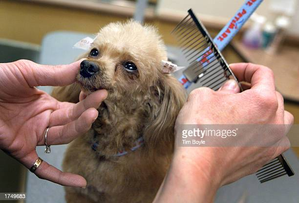 Petsmart pet groomer Danielle McFaul combs the hair of a teacup poodle at a Petsmart store January 28 2003 in Niles Illinois Through December 3...