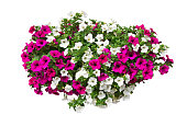 petunia flowers isolated with clipping path included