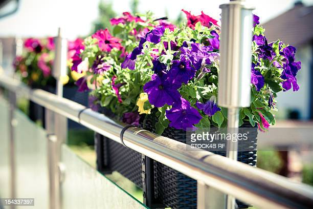 Petunias in flower box on balcony