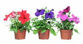 Three petunias ready for the garden.