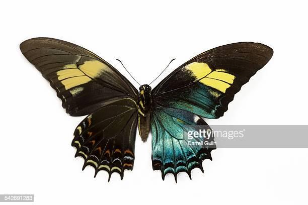 Peurivan Swallowtail female