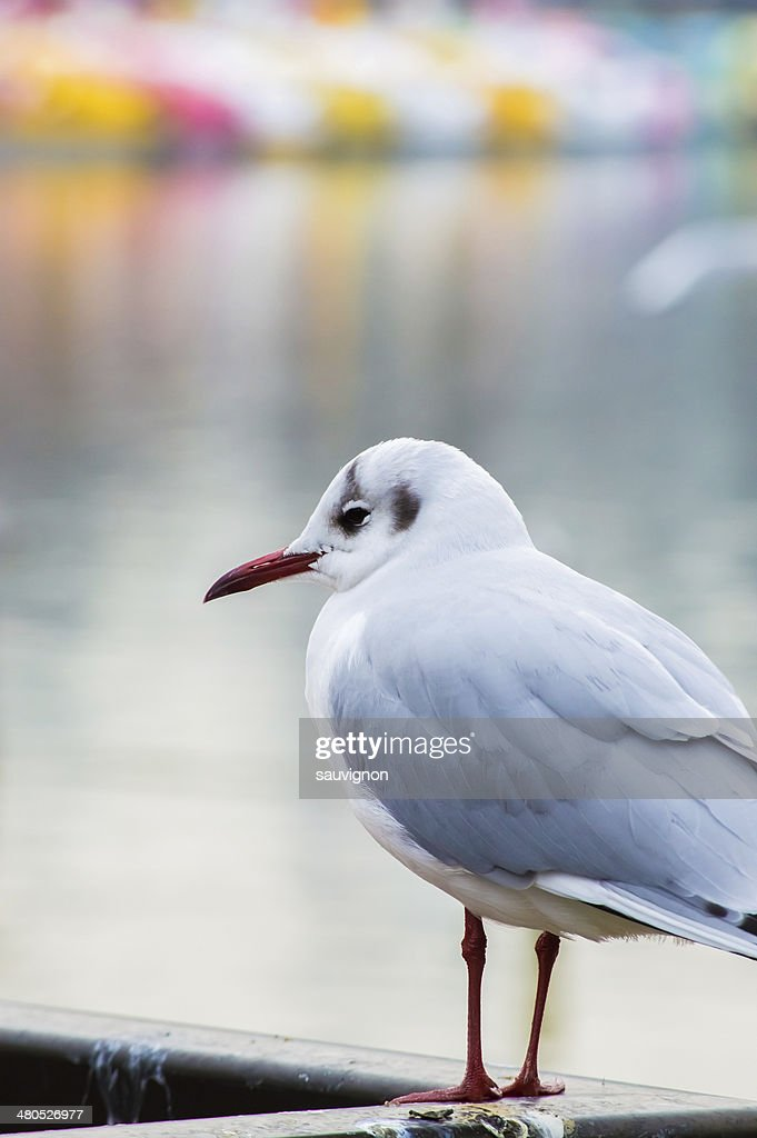 Pewit gull. : Stock-Foto