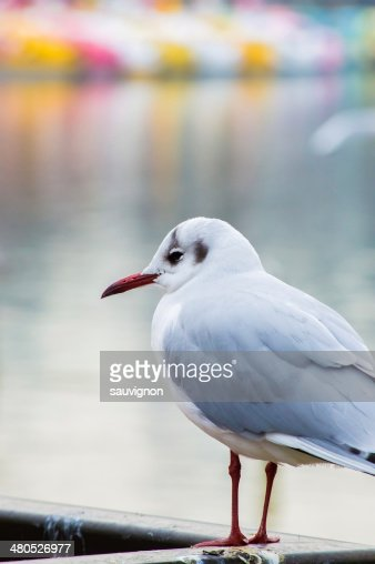 Mouette Pewit. : Photo
