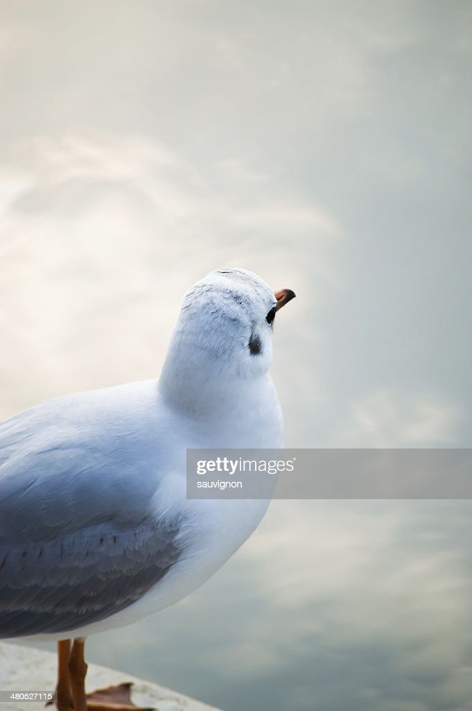 Pewit gull. : Stockfoto