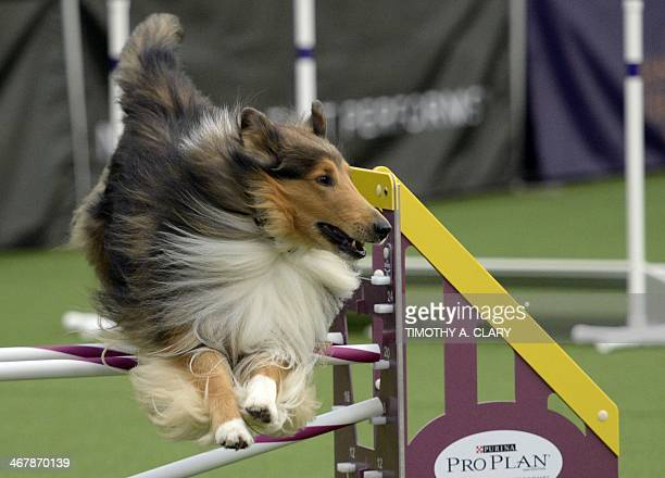 Peyton a Rough Collie in the Agility Ring during the firstever Masters Agility Championship on February 7 2014 in New York at the 138th Annual...