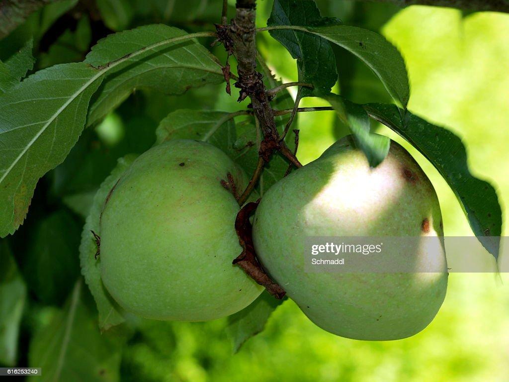 Äpfel : Stock Photo