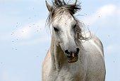 Ein Pferde wird von vielen Fliegen umschwirrt