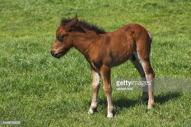 PferdeFohlen Fohlen Shetlandpony Shetlandfohlen Tierkind Jungtier   horse foal shetland pony