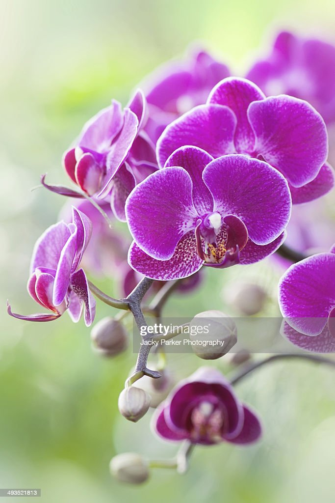 Phalaenopsis, magenta moth orchids