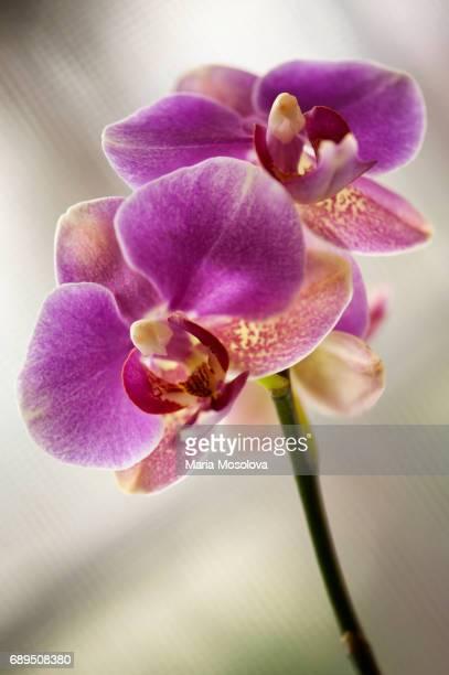 Phalaenopsis Meidarland Pride 'Montclair'