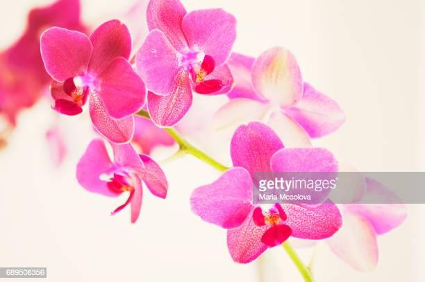 Phalaenopsis Orchid Brother Oconee 'Bedford'