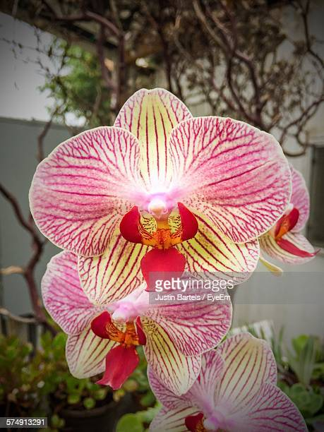 Phalaenopsis Orchids Blooming In Park
