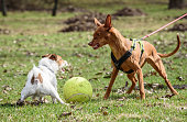 Two dogs fighting for a toy ball