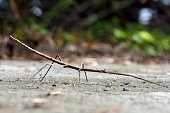 Stick insect - Phasmatodea ,on the Taiwan.