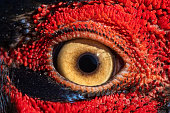 Pheasant eye close-up, macro photo, eye of the Ringnecked pheasant male, Phasianus colchicus.