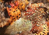 Macro of very colorful pheasant feathers