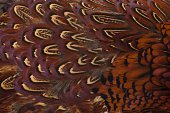 A Close-up Pattern of Male Pheasant Feathers