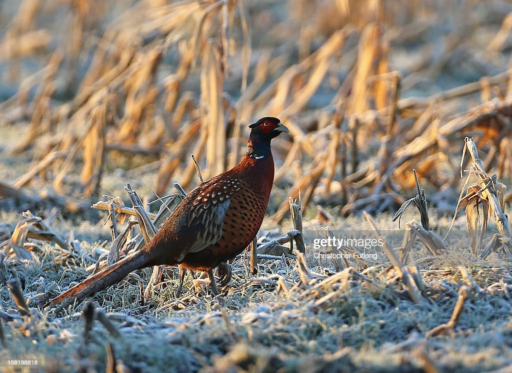 A pheasant forages in a frozen field on December 11, 2012 in Knutsford, England. Forecasters are warning that the UK could experience the coldest day of the year so far tomorrow, as temperatures could drop as low as -14C, bringing widespread ice, harsh frosts and freezing fog. Travel disruption is expected with warnings for heavy snow.