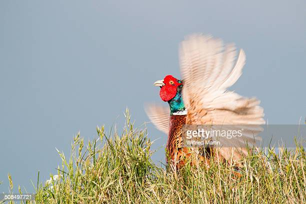 Pheasant -Phasianus colchicus-, fluttering jump, male, Texel, North Holland, The Netherlands