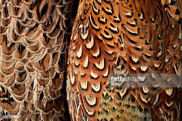 Faisan plumage (Phasianus colchicus