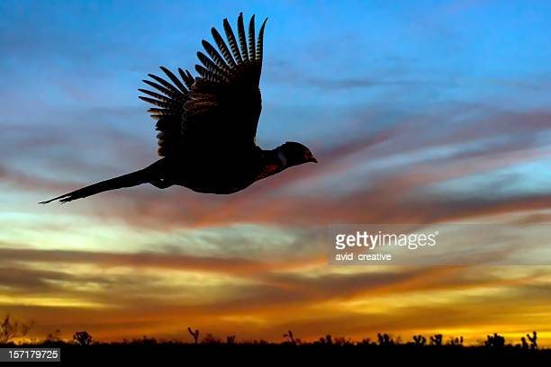 Pheasant Silhouette at Sunset